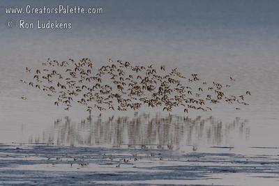 Shorebirds - Unidentified