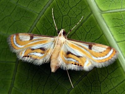 subfamily Acentropinae