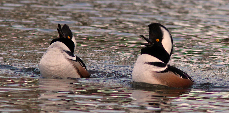 Hooded Merganser males double headthrow, Contempo Lagoon, San Rafael