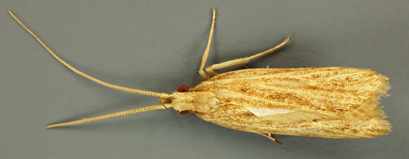 Lecithocera sp. (Lecithoceridae)