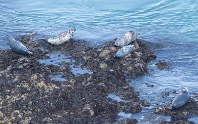 Skomer Island Scenic & other wildlife