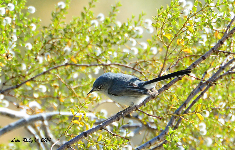 Blue-gray Gnatcatcher - 4/6/2014 - Agua Caliente County Park, San Diego