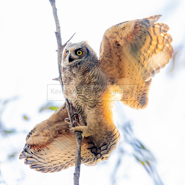 Great Horned Owl Fledgling Hanging On