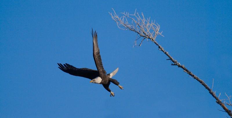 An adult Bald Eagle jumps off a perch[December; Sax-Zim Bog, Minnesota]