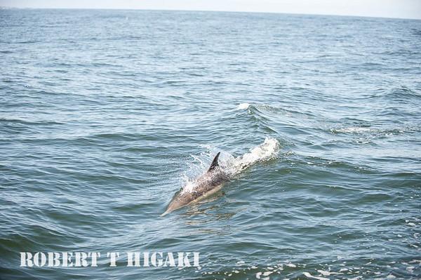 Common Dolphins, Monterey Bay