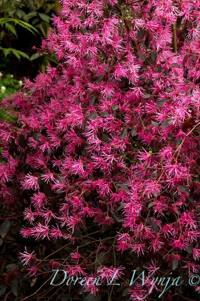 Loropetalum chinense Pipa's Red_003.jpg