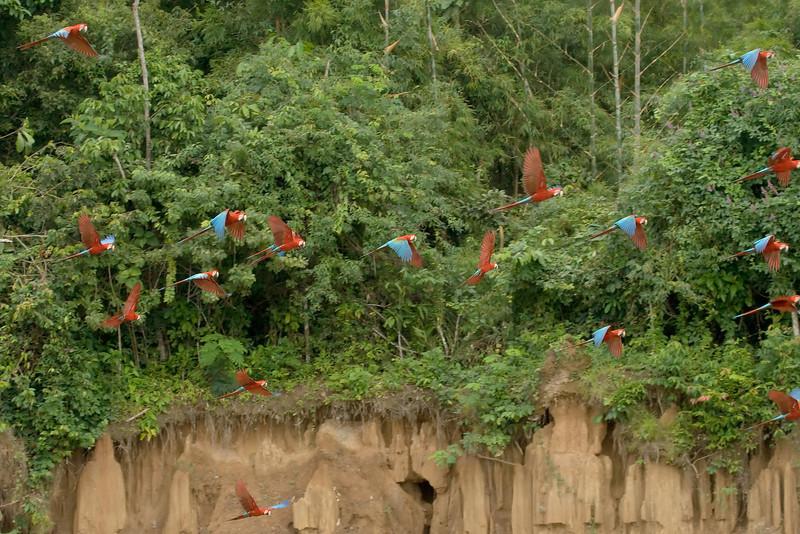 Red-and-Green Macaws (2) at Macaw Lick near Manu Wildlife Center, Peru (2008-07-10).psd
