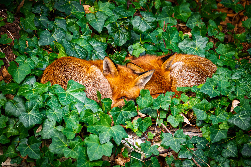 Two young fox cuddled closely together