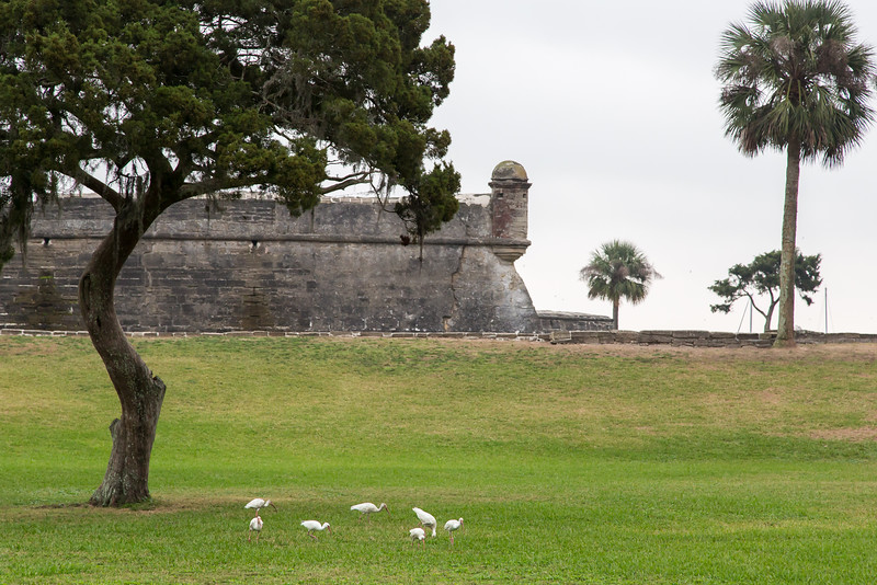 White Ibis by the Castillo de San Marcos