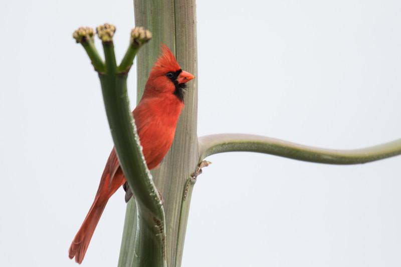 Northern Cardinal St Pete FL 2020-1.jpg