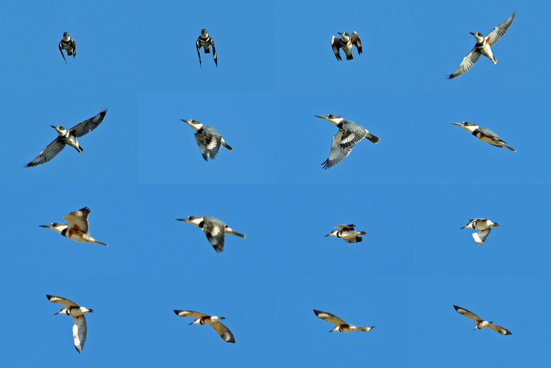 Belted Kingfisher (f) multi-panel in flight.