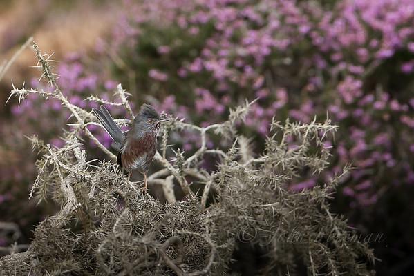 Dartford Warblers