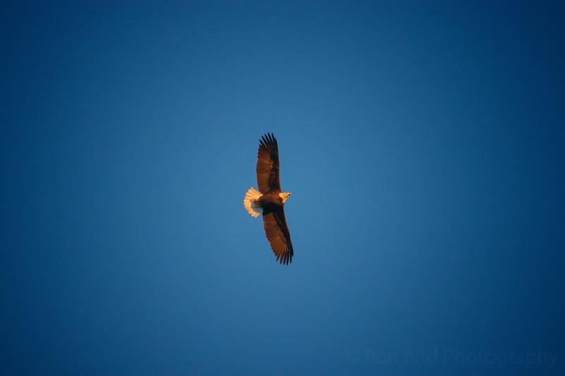11.30.20 - Beaver Lake Bald Eagle.
