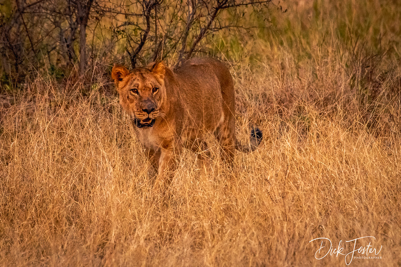 Lion on Prowl