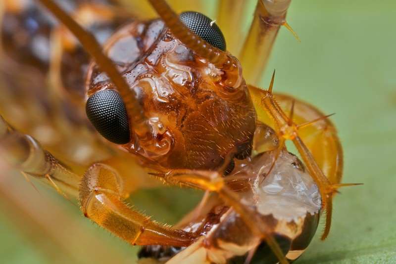 Long-legged centipede (Scutigera sp.)