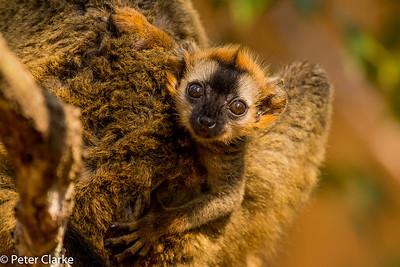 MADAGASCAR- Kirindy