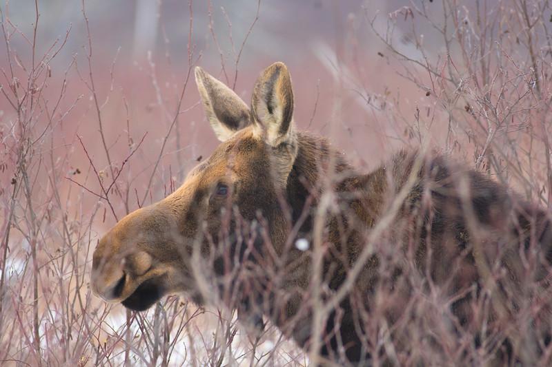 Moose cow yearling in snow Blue Spruce Road Sax-Zim Bog MN DSC02446.jpg