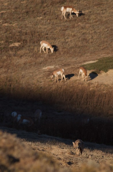Coyote and Pronghorns Teddy Roosevelt National Park ND IMG_5712.jpg