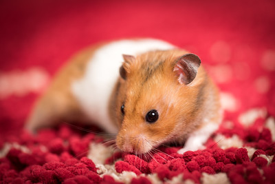 Andrew the hamster
