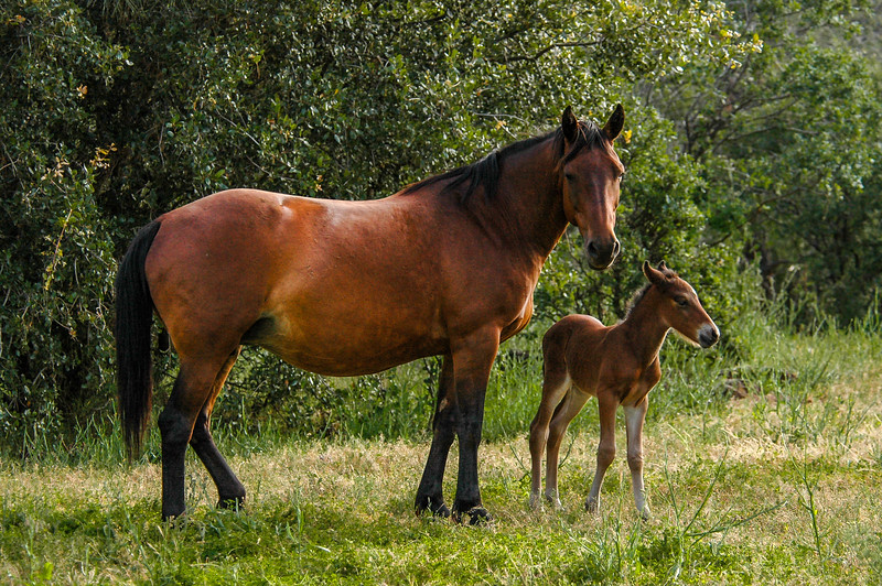 Newborn Wild Horse Foal and Mother #8