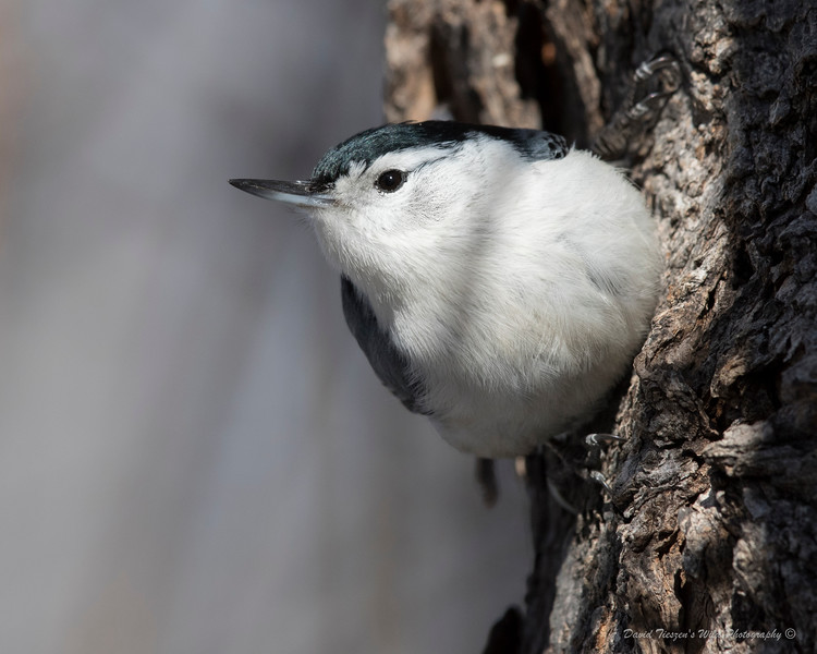 White-breasted Nuthatch_GM1A9702.jpg