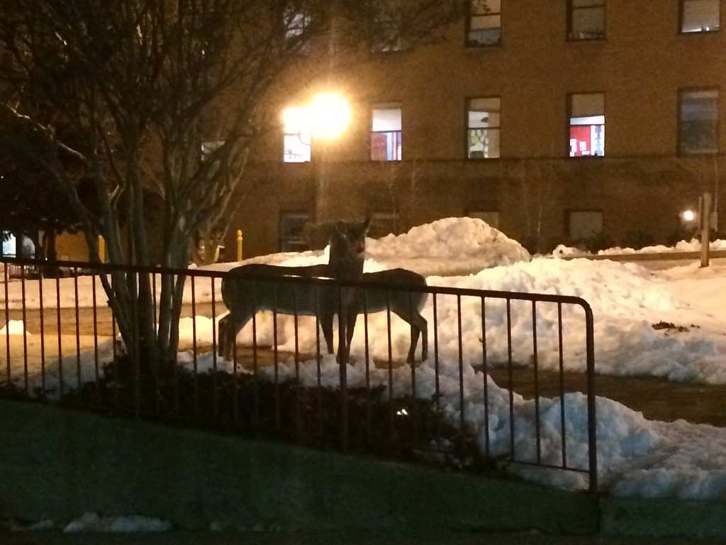 2014 DC Deer in Park