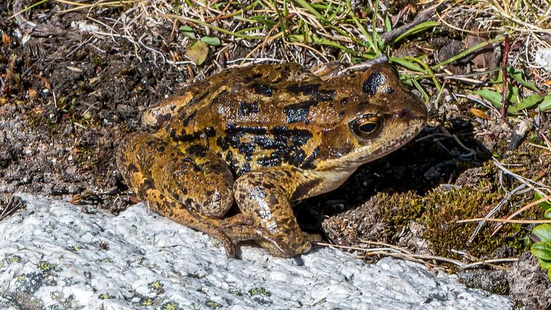 European Common Frog