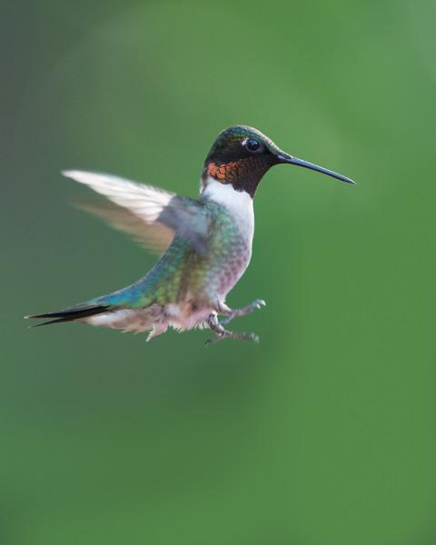 humming bird in flight.jpg