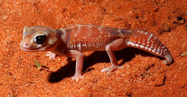 Nephrurus levis (Smooth Knob-Tailed Gecko)