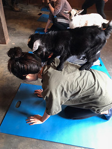 Student Activity: Goat Yoga