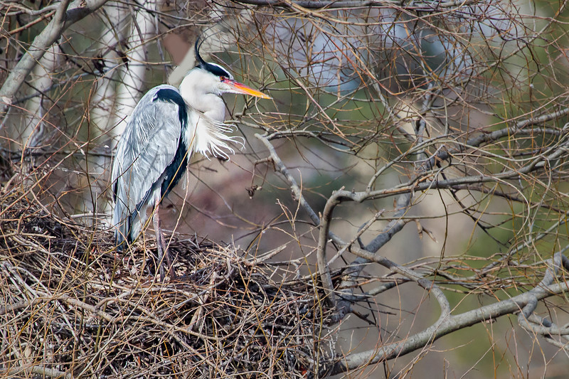 The Herons are back in Vienna