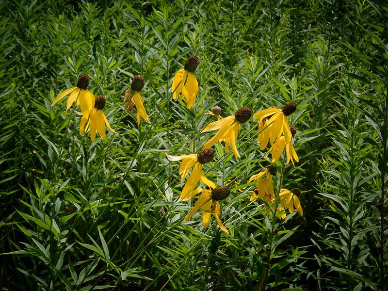 Yellow Coneflowers