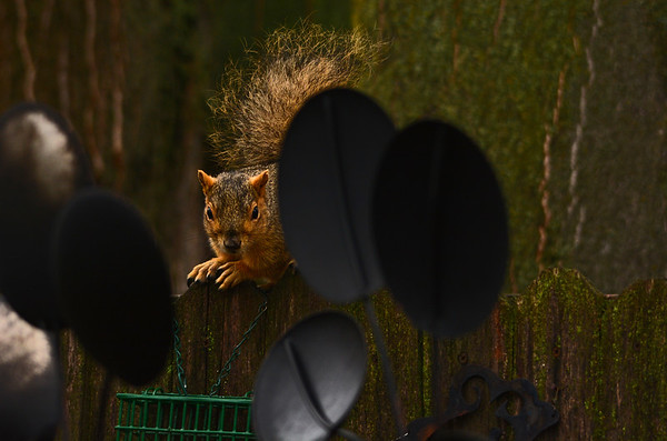 Back Yard Squirrels on Christmas Eve_12-24-18