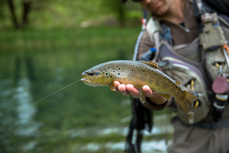 A beautiful wild chalk stream brown from Slovenia