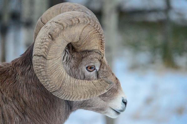 11-24-14 Bighorn Sheep Small Herd 2 Rams