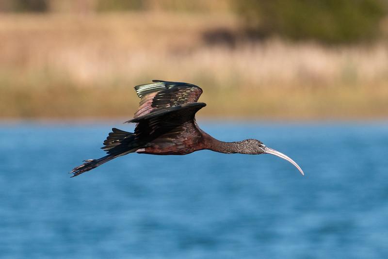 Ibis - Glossy -  Viera Wetlands, FL - 02