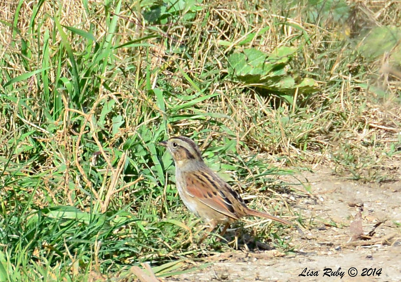 Swamp Sparrow - 1/12/2014 - trail next to Aviara Golf Course