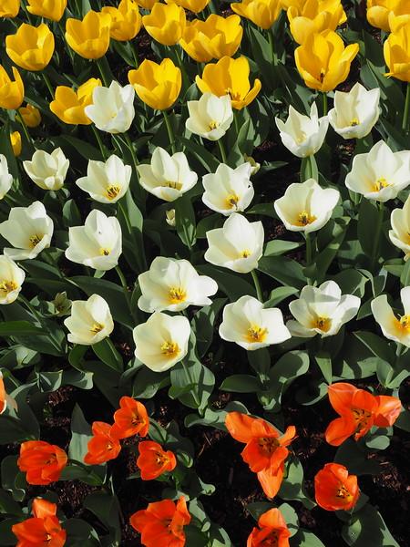 Tulips10.jpg