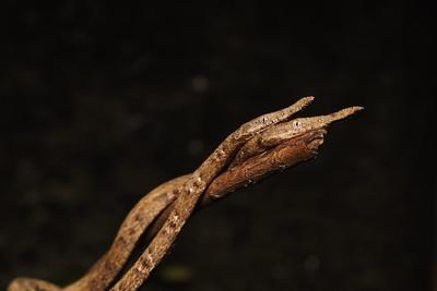 Leaf Nosed Snake