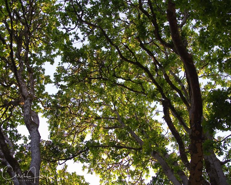 Bush Park Tree Canopy