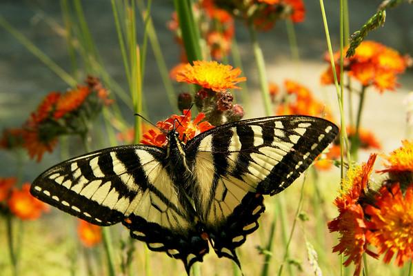 AG3a Butterflies