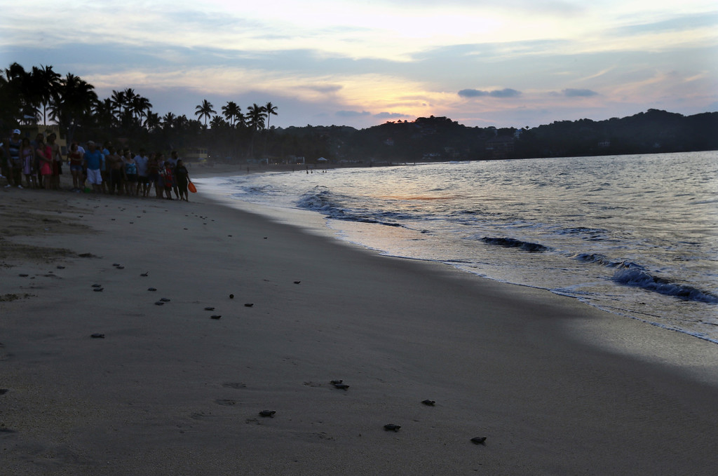 ". In this Saturday, Dec. 2, 2017 photo, people watch olive ridley sea turtle hatchlings walk to the sea as they\'re released as a group in Sayulita, Nayarit state, Mexico. A local non-profit organization ""Red Tortuguera\"" is helping the turtles survive by relocating recently laid eggs to a protected area of the beach, collecting the hatchlings to keep them safe from bird attacks, and releasing them as a group every Saturday at sunset. (AP Photo/Marco Ugarte)"