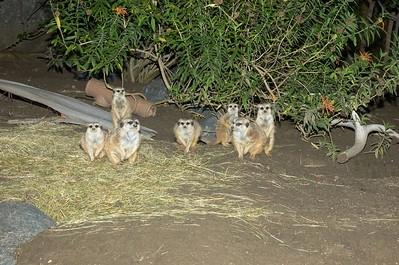Meerkats @ San Diego Zoo 11/21/2006