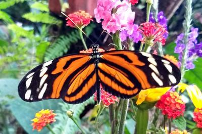 Tiger Heliconian - heliconius ismenius