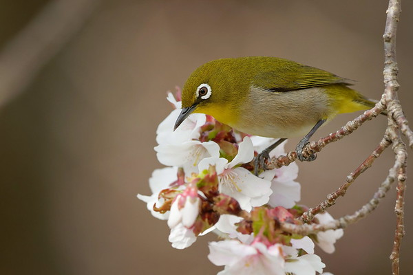 White-eyes, Goldcrests and Wrens