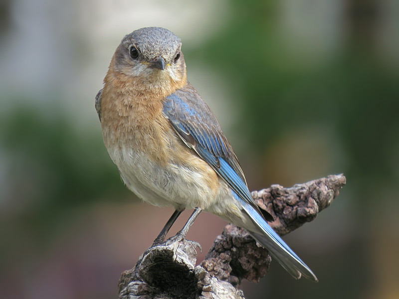 sx50_bluebird_faith_boas_101.jpg