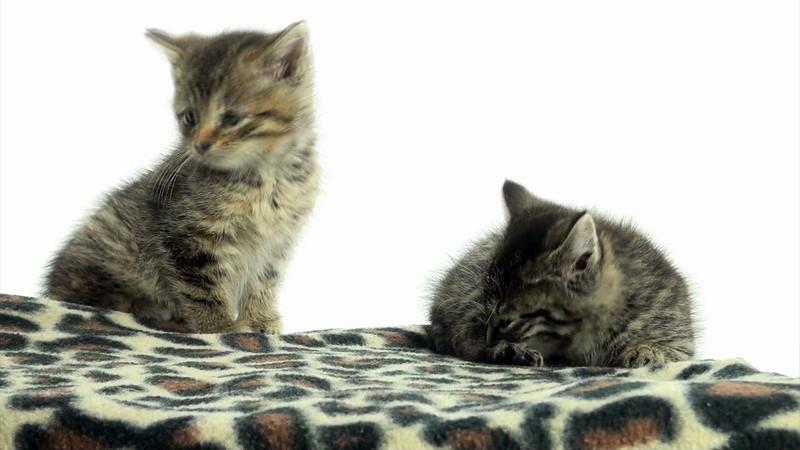 Kittens_tabby_015.mov