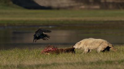 Mammals (Bears, Bison, Badgers, Mtn Goats,..)