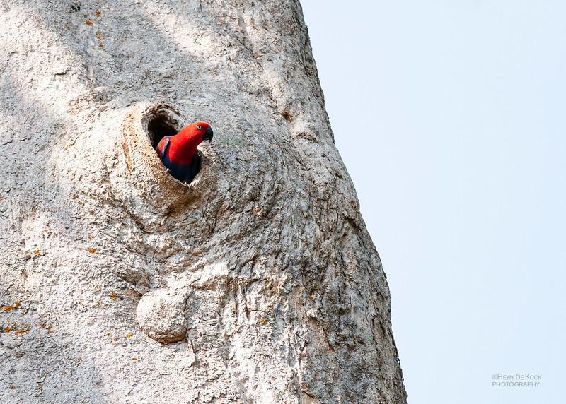 Eclectus Parrot, f, Iron Range NP, QLD, Dec 2009.jpg
