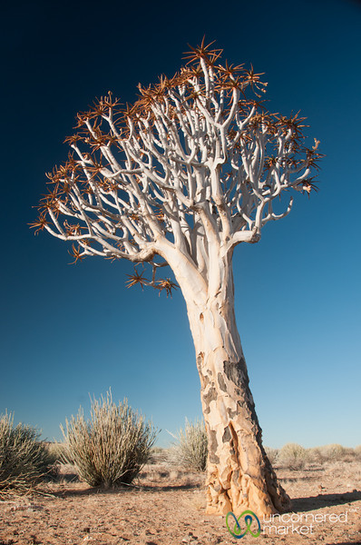 Quiver Tree, Namibia